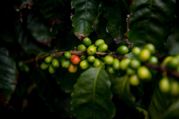Coffee Plant with one red coffee bloom and the rest are green.